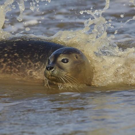 Zeven zeehonden zwemmen weer in zee